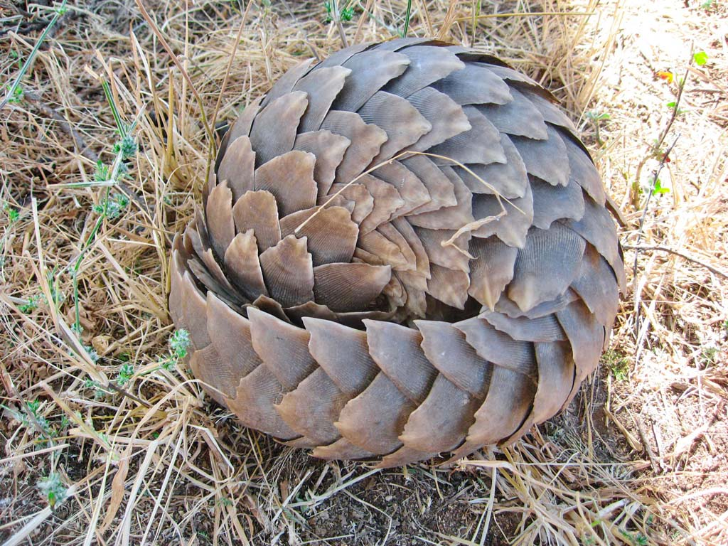 Pangolin,pangolin baby,strange animals from Africa,keratin scales,amazing animals,weird creatures