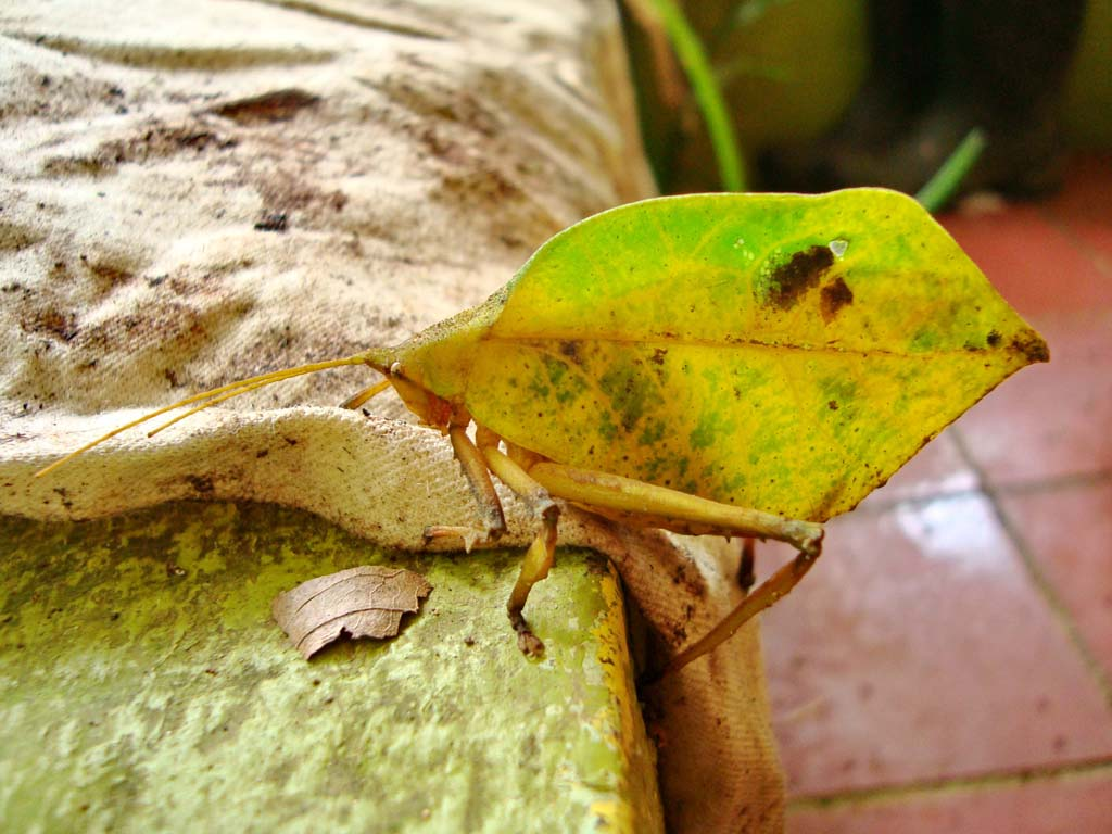 The Leaf Insects,family Phylliidae,amazing animals,weird creatures